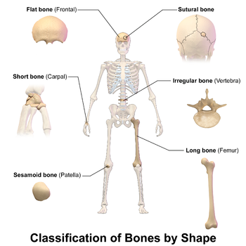This image show the different bone classifications, based on shape, that are found in a human skeleton. These are flat bone, sutural bone, short bone, irregular bone, sesamoid bone, and long bone.