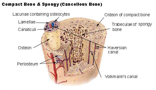 This is a color drawing of compact bone and spongy bone. The hard outer layer of bones is shown to be made of compact bone tissue, so-called due to its minimal gaps and spaces. Its porosity is 5–30%. Inside the interior of the bone is the trabecular bone tissue, an open cell, porous network that is also called cancellous or spongy bone.