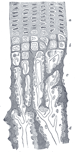 This is a drawing of part of a longitudinal section of a rabbit's developing femur. The parts identified are: a) Flattened cartilage cells; b) Enlarged cartilage cells; c) [MISSING], d) Newly formed bone; e) Osteoblasts; f) Giant cells or osteoclasts; g) [MISSING] , h) Shrunken cartilage cells.
