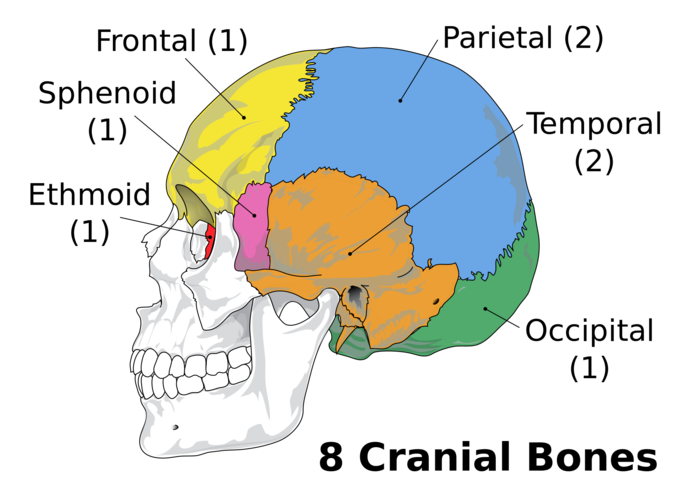 The Skull Boundless Anatomy And Physiology