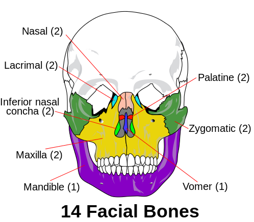 This is a frontal view of a skull that labels the fourteen facial bones. The following facial bones are paired: nasal, lacrimal, inferior nasal concha, maxilla, palatine, and zygomatic. The mandible and vomer are the only singular facial bones.