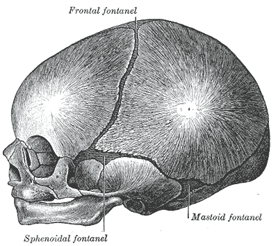 This is a lateral view of infant skull that shows the location of the sphenoidal and mastoid fontanelles.