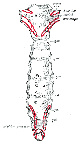 This is a drawing of the sternum with its three regions labeled. From top to bottom, they are the manubrium, the gladiolus, and the xiphoid process regions.