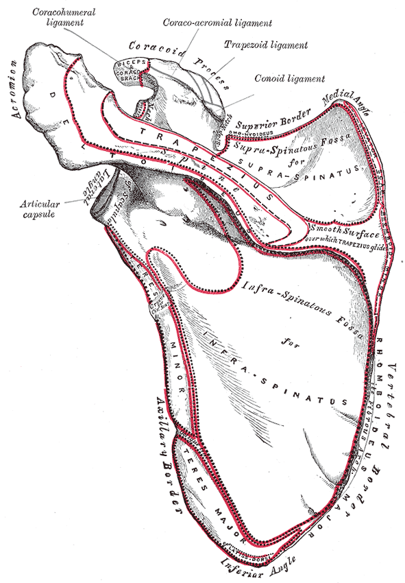 This is a drawing of the dorsal surface of the left scapula. It highlights the supraspinatus and infraspinatus muscles, spine, teres major, and teres minor regions.