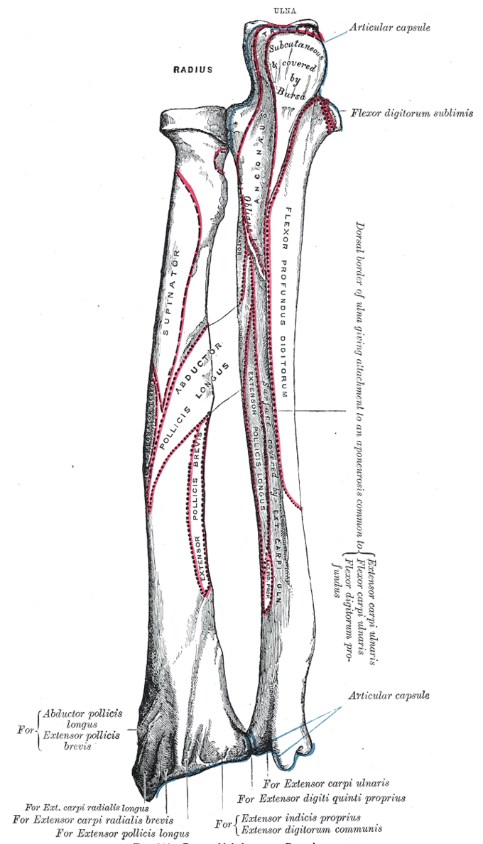 This is a drawing of the forearm. It depicts the positions of the radius and ulna bones in the forearm, and labels the locations of muscle and ligament attachments.