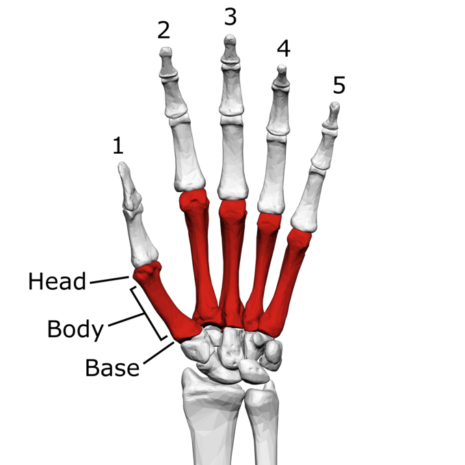 This is a color illustration of the metacarpal bones of the left hand. It shows how the metacarpals connect the carpal bones of the wrist with the phalanges (finger bones). A phalange is labeled to show its head, body, and base.