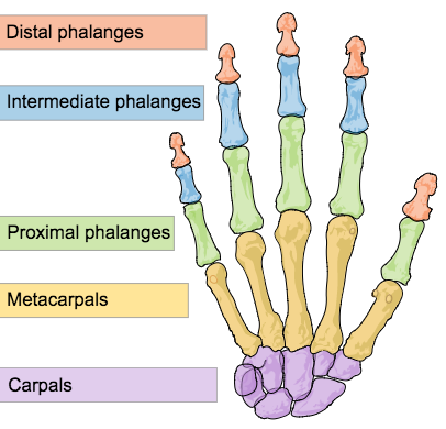 This is a color illustration of human hand bones. It shows how fingers are made up of proximal, intermediate, and distal phalanges. The thumb lacks an intermediate phalange. It also shows the metacarpals and carpals.