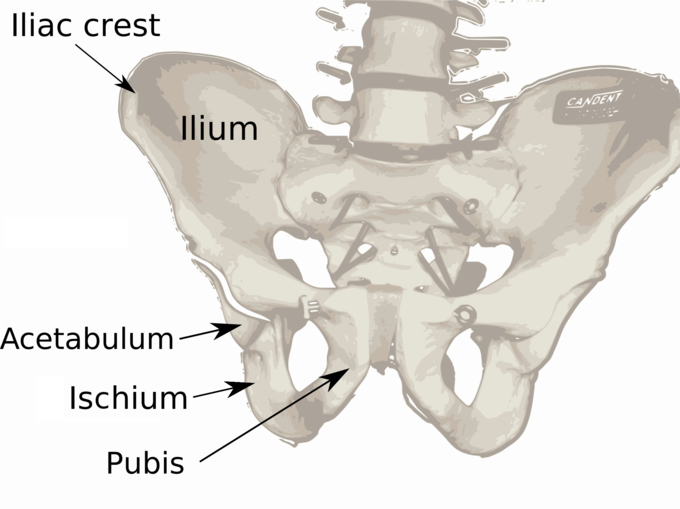 This is a photo of an anatomical model of the ilium. The iliac crest, acetabulum, ischium, and pubis are shown. The ischium is located below the ilium and behind the pubis.