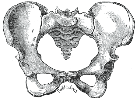This is a drawing of the female pelvis The female pelvis is wider than that of the male, as can be seen by the greater than 90 degree angle of the pubic arch.