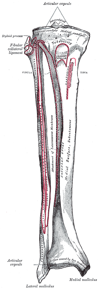 This is a drawing that shows the tibia and fibula in anatomical position with other parts of the leg labeled.