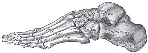 This drawing of the foot shows how it contains the proximal tarsals that form the ankle and heel; intermediate metatarsals; and the distal phalanges that form the toes.