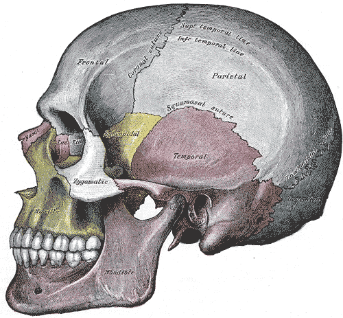 This diagram of the skull shows location of the cranial sutures, with reference to the mandible, zygomatic, temporal, parietal, temporal lines, coronal suture, frontal, nasal, and maxilla.