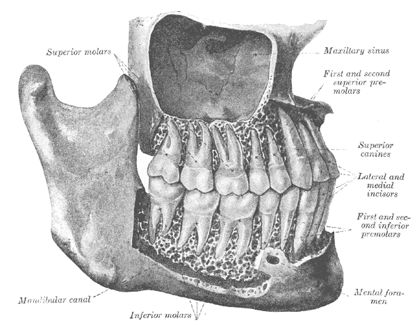 This diagram of the skull illustrates the gomphoses in relation to the superior molars, maxillary sinus, first and second superior premolars, superior canines, lateral and medial incisors, first and second inferior premolars, mental foramen, inferior molars, and mandibular canal.