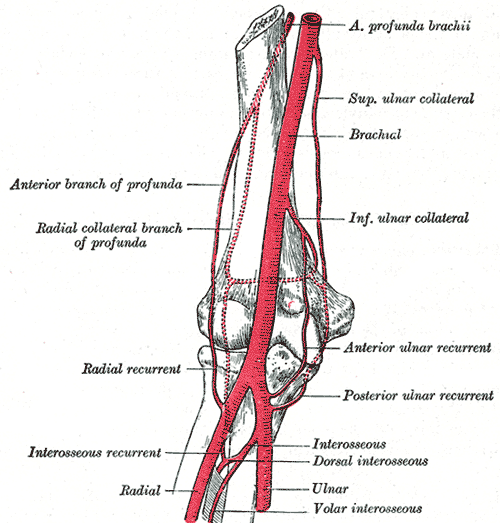 This diagram depicts the elbow joint, including the anterior profunda brachii, superior ulnar collateral, brachial, inferior ulnar collateral, anterior and posterior ulnar recurrent, interosseus, dorsal interosseus, interosseus recurrent, radial recurrent, radial collateral branch of profunda, and anterior branch of profunda.