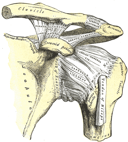 This example of a plane joint delineates the scapula, neck of scapula, clavicle, coracoid process, capsular ligament, and tendon of biceps.