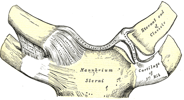 This anterior view of sternoclavical articulation includes the manubrium sterni, first rib cartilage, anterior disc, and sternal end of clavicle.