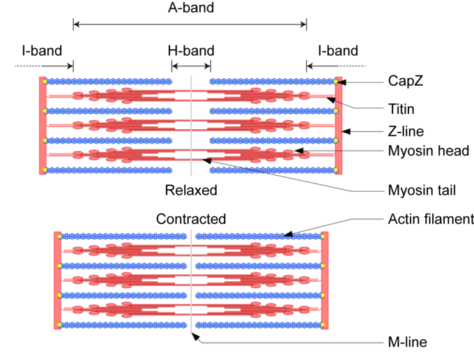 This diagram describes the sliding filament model of contraction. Terms include A-band, I-band, H-band, CapZ, titin, Z-line, myocin head, myocin tail, actin filament, relaxed, contracted, and M-line.