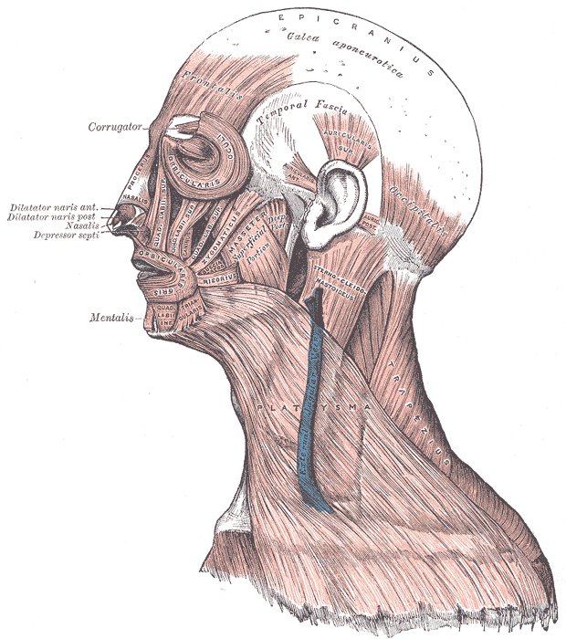 This diagram notes the facial muscles, including labels for the epicranius, temporal fascia, corrugator, frontalis, dilatator naris anterior and posterior, nasalis, depressor septi, mentalis.