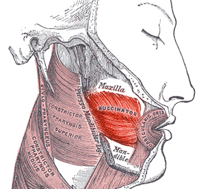 This diagram depicts the buccinator muscle in relation to the maxible, mandible, orbicularis oris, constrictor pharyngis superior, constrictor pharyngis medius.