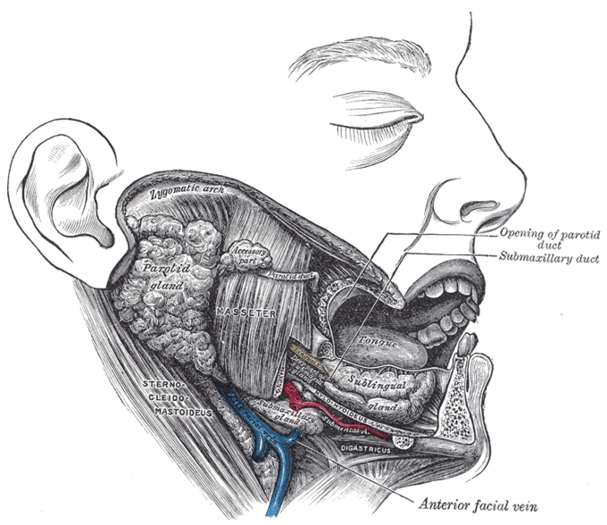 This diagram depicts the masseter muscle in relation to the opening of parotid duct, submaxillary duct, anterior facial vein, sternocleidomastoideus, lygomatic arch, parotid gland, tongue, and sublingual gland.