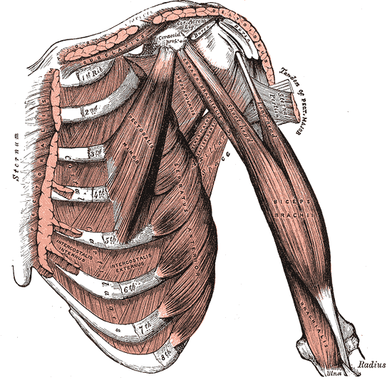 Trunk Muscles | Boundless Anatomy and Physiology