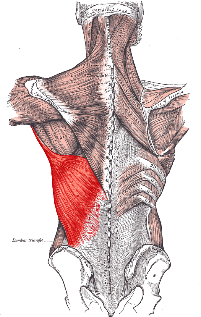 This image depicts the latissimus dorsi in relation to the crest of ilium, first lumbar, lumbar triangle, and trapezius muscle.