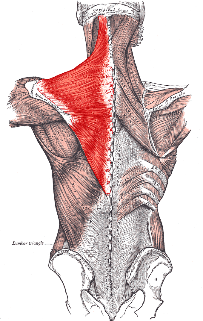 This diagram illustrates the lumbar triangle in relation to the deltoideus, infraspinatus, teres major, lattissimus dorsi, and lumbodorsal fascia.