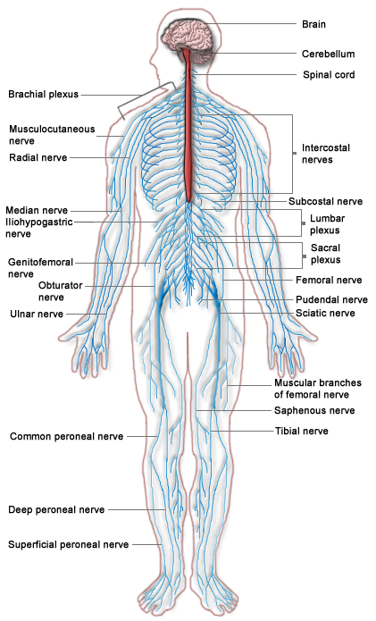 This image depicts the major parts of the nervous system, including brain, cerebellum, spinal cord, intercostal nerves, subcostal nerve, lumbar plexus, sacral plexus, femoral nerve, pudendal nerve, sciatic nerve, muscular branches of femoral nerve, saphenous nerve, tibial nerve, superficial peroneal nerve, deep peroneal nerve, common peroneal nerve, ulnar nerve, obturator nerve, genitofemoral nerve, iliohypogastric nerve, median nerve, radial nerve, musculocutaneous nerve, and brachial plexus.