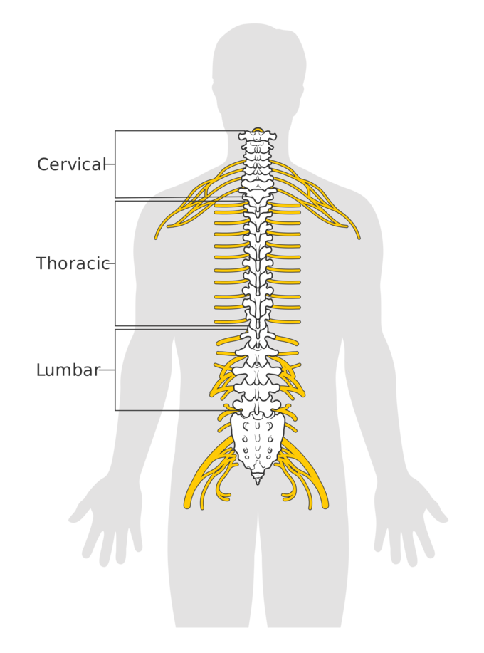 The Spinal Cord | Boundless Anatomy and Physiology
