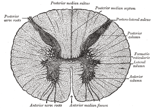 This cross-section of the spinal cord delineates the grey commissure, posterior and anterior nerve roots, posterior median sulcus, posterior median septum, postero-lateral sulcus, posterior column, anterior column, formatio reticularus, and anterior median fissure.