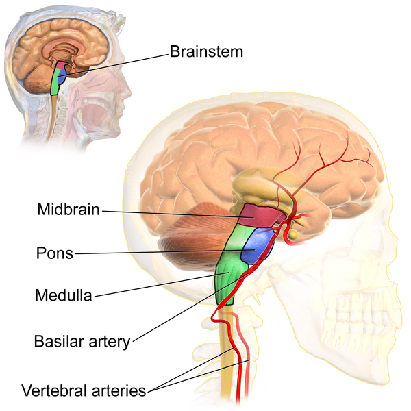 the brain stem | boundless anatomy and physiology, Human Body
