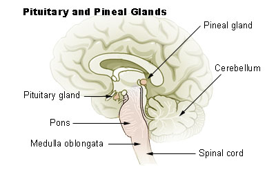The brain stem boundless anatomy and physiology the brain stem with pituitary and pineal glands medulla oblongata labeled at bottom left in relation to the pons pituitary gland spinal cord ccuart Image collections