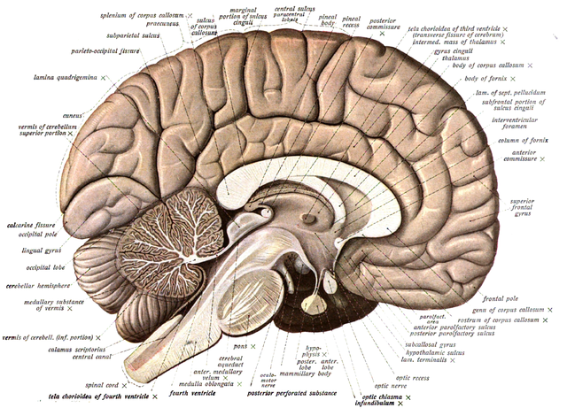 The Cerebellum | Boundless Anatomy and Physiology