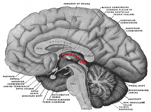 This diagram depicts the hypothalamus and other structures in the brain, including foramen of Monro, middle commissure, choroid plexus of third ventricle, taenia thalami, habenular commissure, posterior commissure, pineal body, aqueduct, quadrigeminal lamina, superior medullary vellum, fourth ventricle, oblongata, pons, midbrain, thalamus, fornix, callosum, genu, splenium, septum lucidum, oculomotor nerve, corpus albicans, tuber cinereum, optic nerve, pituitary body, optic chiasm, lamina terminalis, anterior commissure, copula, and rostrum.