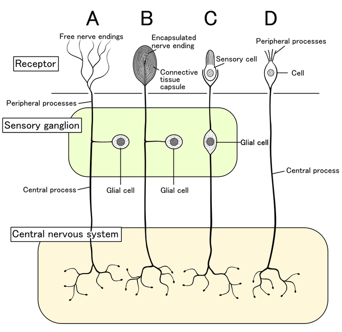 This is a a schematic drawing of the classes of sensory receptors. Sensory receptor cells differ in terms of morphology, location, and stimulus. This drawing shows four different receptors—free nerve endings, encapsulated nerve ending, a sensory cell, and peripheral processes. These are shown to be connected to the sensory ganglion and central nervous system in different ways.