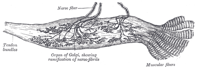 This is a drawing of the Golgi tendon organ. The Golgi tendon organ contributes to the Golgi tendon reflex and provides proprioceptive information about joint position. The drawing shows tendon bundles and nerve fibers with the Golgi organ attached to them and spread throughout the nerves and tendon.
