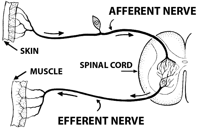 This is a schematic drawing of efferent and afferent nerve transmission to and from peripheral tissue and spinal cord. It shows the afferent nerve running from the skin to the spinal cord, then it shows the efferent nerve running from the spinal to a muscle.