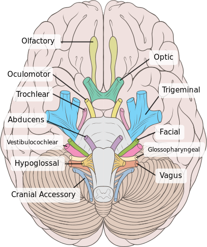 This is an top view of the brain with the cranial nerves identified within it. The oculomotor nerve is the third nerve from the front of the brain, coming after the olfactory and optic nerves.