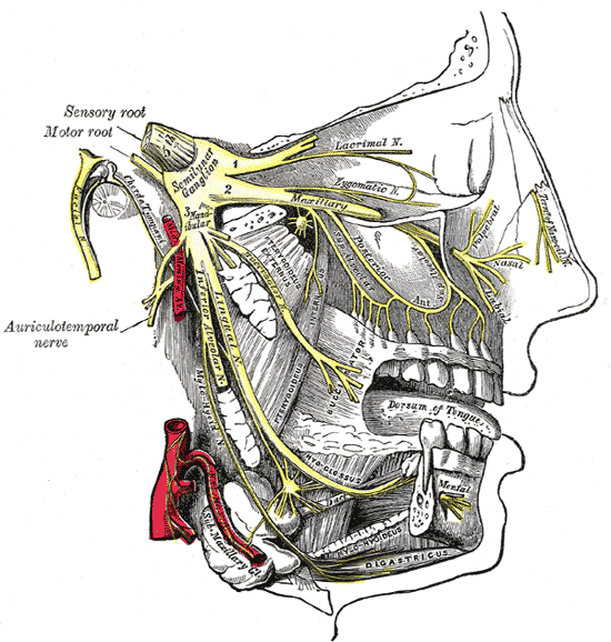 This is a schematic illustration of the trigeminal nerve (labeled as sensory root in the illustration) that shows the structures it connects to in the face and mouth.
