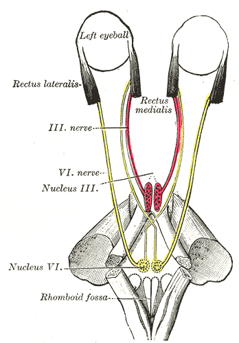 This is a schematic of the cranial nerves. In particular, it displays cranial nerve VI, the abducens nerve, and its connection from the eyes to the brainstem.