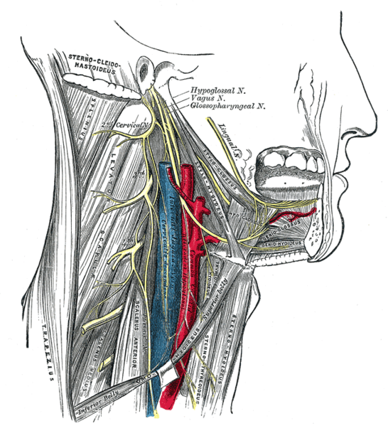 This is a schematic view of various head structures, including the glossopharyngeal nerve. The glossopharyngeal nerve is seen running through the lower jaw and neck regions.