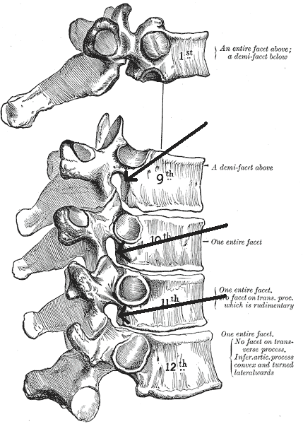 This is a drawing of a spinal column. The intervertebral foramina are depicted as a small opening between every pair of spinal vertebrae, giving passage to the spinal nerve.