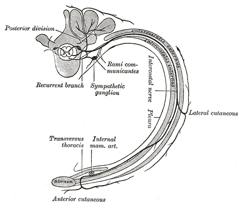 This is an anatomical drawing of the course and branches of thoracic spinal nerve. This diagram depicts the course and branches of a typical thoracic spinal nerve. The dorsal ramus, ventral ramus, and the rami communicantes are identified in the nerve.