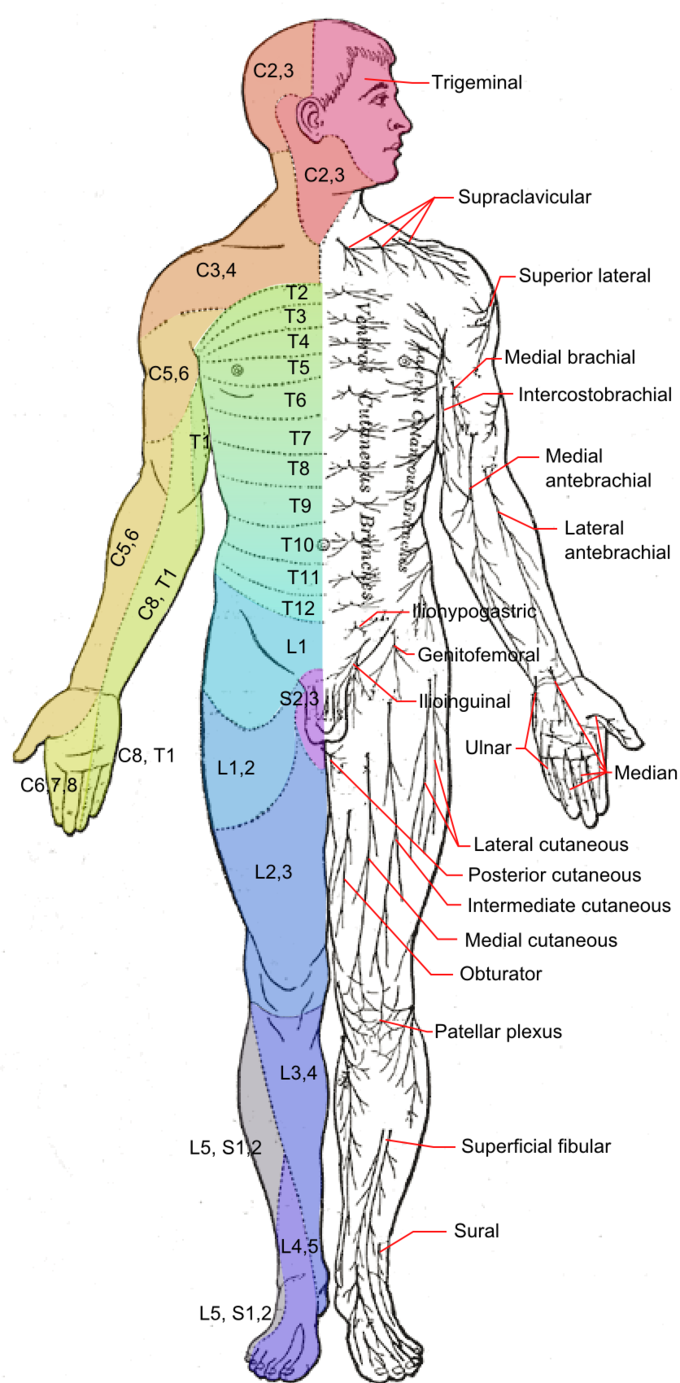 This is a drawing of the human body from a ventral view. It shows dermatomes as areas of skin supplied by sensory neurons that arise from a spinal nerve ganglion. Dermatomes and the associated major cutaneous nerves in the body are depicted.