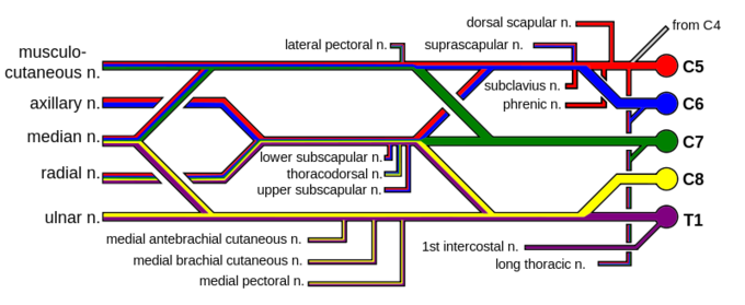 This is a diagram of the brachial plexus and its branches. These five branches are noted as terminal nerve branches: musculo-cutaneous, axillary, median, radial, and ulnar.