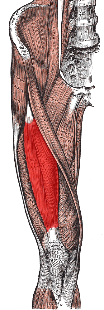 This is an anatomical drawing of the rectus femoris muscle. It is one of the four quadriceps muscles of the human body. As can be seen, these muscles may have as many as a thousand fibers in each motor unit.