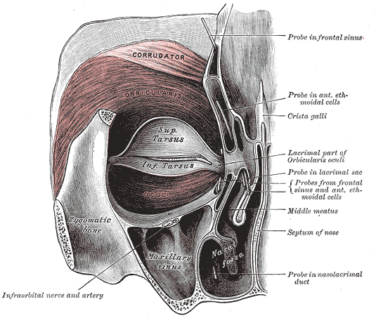 This is an anatomical drawing of the orbicularis oris (eye) muscle. These small motor units may contain only 10 fibers per motor unit. The more precise the action of the muscle, the fewer fibers innervated.