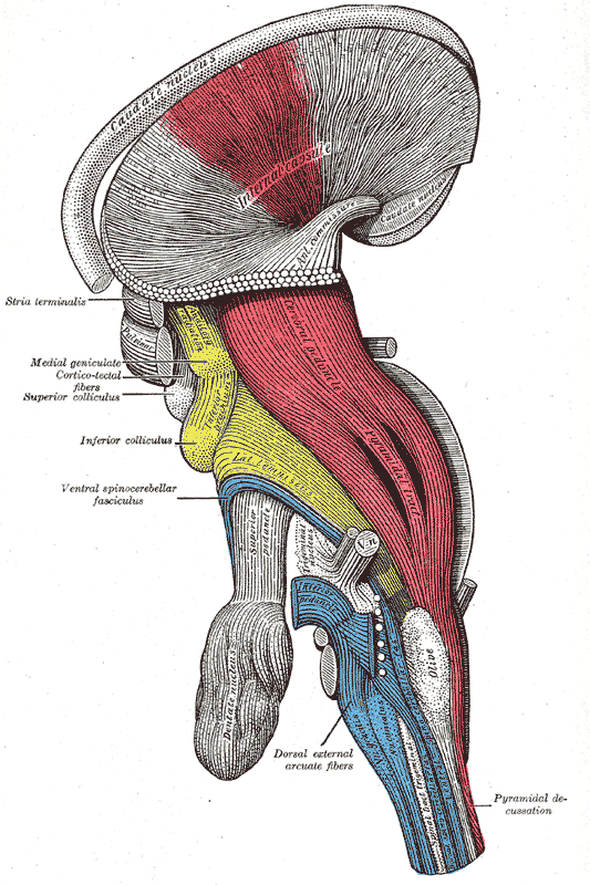 This an anatomical drawing of a brainstem. The pyramidal tract is visible, and the pyramidal decussation is labeled at lower right.