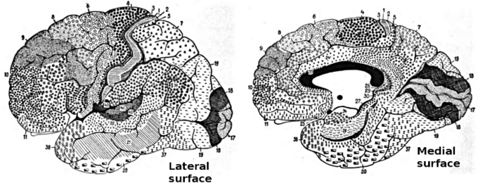 This drawing shows the Brodmann areas of the brain. These regions of the human cerebral cortex were delineated by Korvinian Brodmann on the basis of cytoarchitecture.
