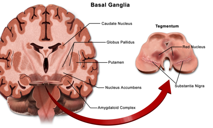This is a drawing of the brain, viewed from the top. The basal ganlglia are situated at the base of the forebrain.